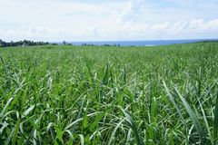 The main agricultural crop is sugar cane. The main agricultural crop on the island of Mauritius is sugar cane royalty free stock images