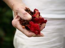 Main arthritique retenant les pétales roses Images libres de droits