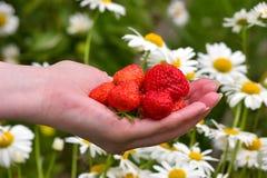 Main avec des fraises Photos libres de droits