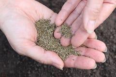 Main avec des graines de fenouil Photographie stock libre de droits