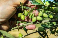 Main avec des olives Images libres de droits