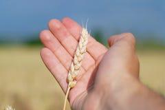 Main avec du blé Photo stock
