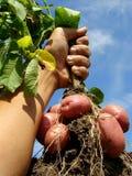 Main avec la plante de pomme de terre Images stock
