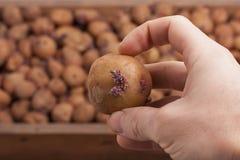 Main avec la pomme de terre Photos stock