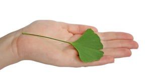 Main avec le branchement avec le biloba de Ginkgo de lames image stock