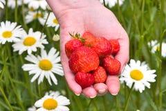 Main avec les fraises rouges Images stock