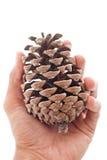 Main avec Pinecone Image stock