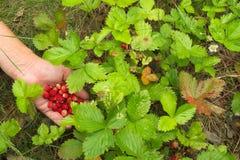 Main avec une poignée de fraisier commun Photographie stock libre de droits