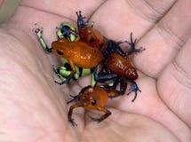 Main complètement des grenouilles de dard de poison Image stock
