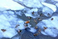 Ducks and drakes are waiting for food from people on the spring river royalty free stock photos