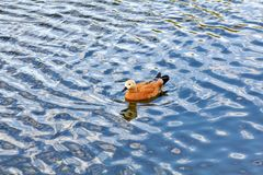 The duck swims through the blue waves of the river stock images