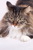 Main coon cat. With many colors sitting Stock Photography