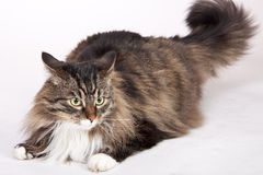 Main coon cat. With many colors sitting Stock Photo