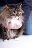 Main coon cat. With many colors sitting Royalty Free Stock Images
