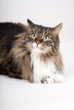 Main coon cat. With many colors sitting Stock Images