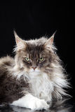 Main coon cat lying. Lying main coon cat looks cool in camera Royalty Free Stock Photos
