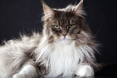 Main coon cat lying. Lying main coon cat looks cool in camera Stock Photo