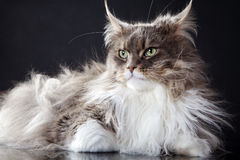 Main coon cat lying. Young pretty main coon cat lying Royalty Free Stock Photography