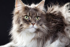 Main coon cat lying Royalty Free Stock Photo