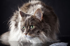 Main coon cat lying. Young pretty main coon cat lying Royalty Free Stock Photos