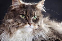 Main coon cat lying. Young pretty main coon cat lying Royalty Free Stock Image