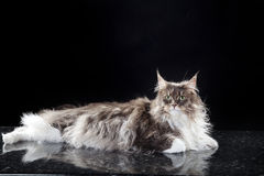 Main coon cat lying. Young pretty main coon cat lying Royalty Free Stock Photo