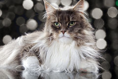 Main coon cat lying. Young pretty main coon cat lying with glitter background Stock Photo