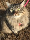 Main coon cat outdoors wild Stock Photos