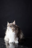 Main coon cat sitting. Young pretty main coon cat sitting Royalty Free Stock Photography