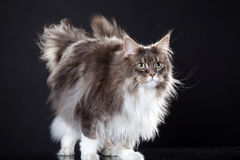 Main coon cat standing. Young pretty main coon cat standing Royalty Free Stock Photo