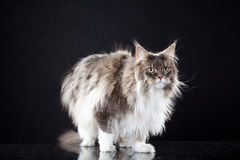 Main coon cat standing. Young pretty main coon cat standing Royalty Free Stock Image
