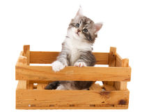 Main coon kitten Stock Photography
