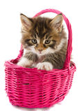 Main coon kitten Royalty Free Stock Photos