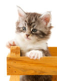 Main coon kitten Stock Image
