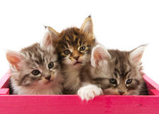 Main coon kittens Royalty Free Stock Images