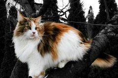 Main Coon Royalty Free Stock Photo