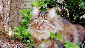 Main Coon in Sunshine stock photos