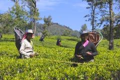 Main-d'œuvre féminine moissonnant des feuilles dans la plantation de thé 2 Photos stock
