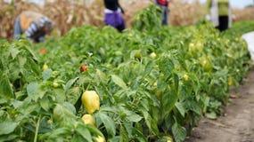 Main-d'œuvre féminine sélectionnant des poivrons image libre de droits