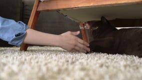 Main d'adolescente provoquant le chat britannique brun de cheveux courts pour jouer Chat espiègle regardant des essais pour rayer banque de vidéos