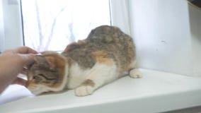 Main d'homme frottant le chat tricolore vidéo animée lente concept tricolore d'animal familier de chat de mode de vie banque de vidéos