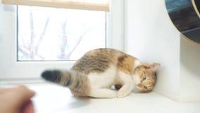 Main d'homme frottant le chat tricolore vidéo animée lente de mode de vie concept tricolore d'animal familier de chat clips vidéos