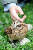 Main d'un enfant caressant un hibou de scops de sunda Images libres de droits