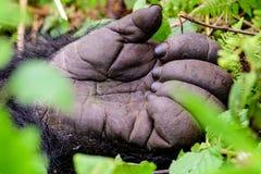 Main d'un gorille de montagne de silverback Photo stock