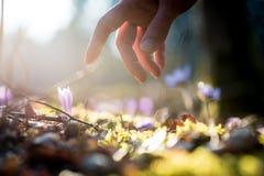 Main d'un homme au-dessus de nouvelles fleurs bleues sensibles dans un axe du su Photographie stock libre de droits
