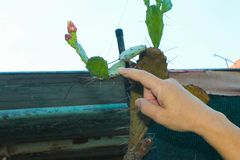 Main dans un plan rapproché pointu de cactus photo libre de droits