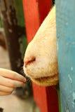 Main de alimentation de chèvre dans le zoo dans le mihn de chi du Vietnam ho Photo stock