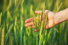 Main de femme avec l'oreille du blé Photographie stock libre de droits
