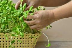 Main de femme cultivant la pousse verte de tournesol dans le panier à la maison Photographie stock