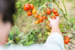 Main de femme sélectionnant une tomate mûre rouge sur le vin Photo stock